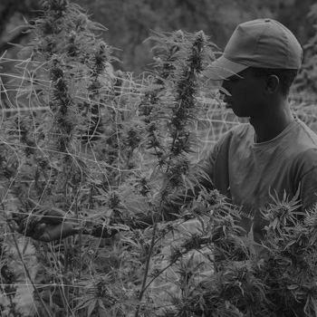 cannabis cosecha