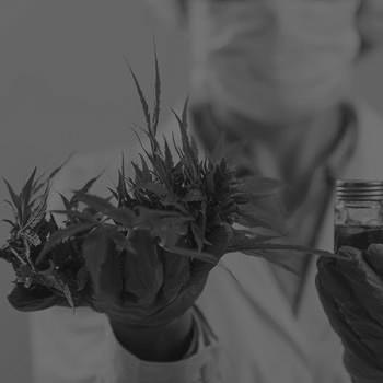 cannabis medicinal ingenieria quimica