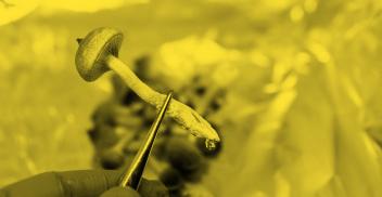 Hongos psilocibios: historia, biología, cultivo y uso medicinal